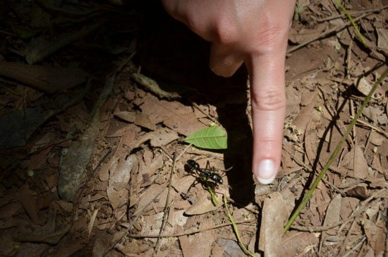 Velika mravlja nama je prekrižala pot
