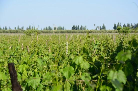 Vinogradi Di Tomasso